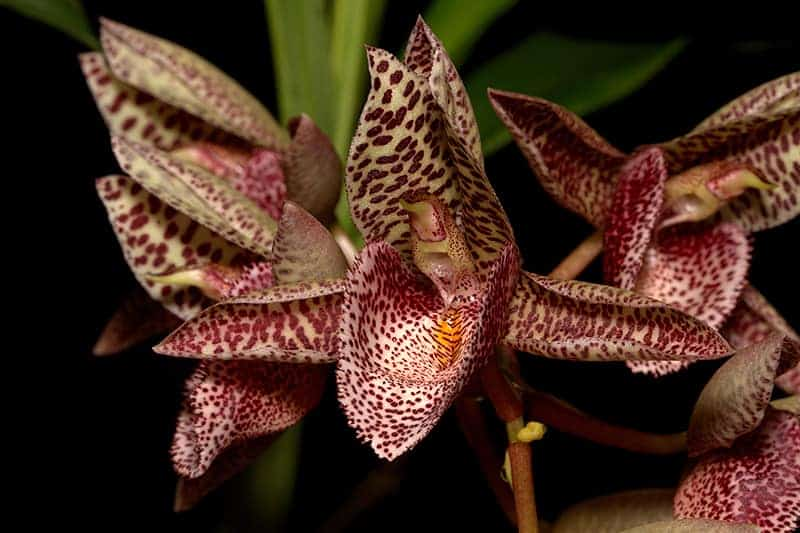 Catasetum Orchids