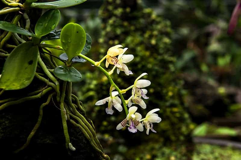 Encyclia Orchids