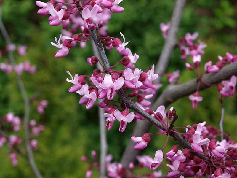 10 Inspiring Types Of Redbud Trees With Photos Green And Vibrant