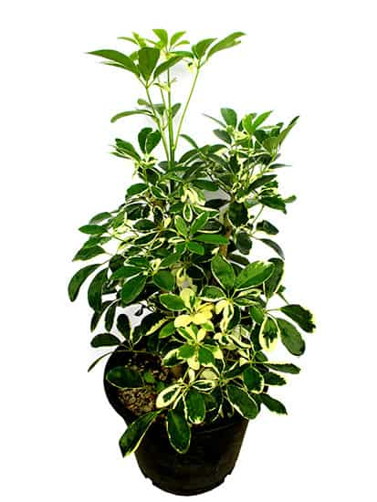 Variegated Umbrella Tree