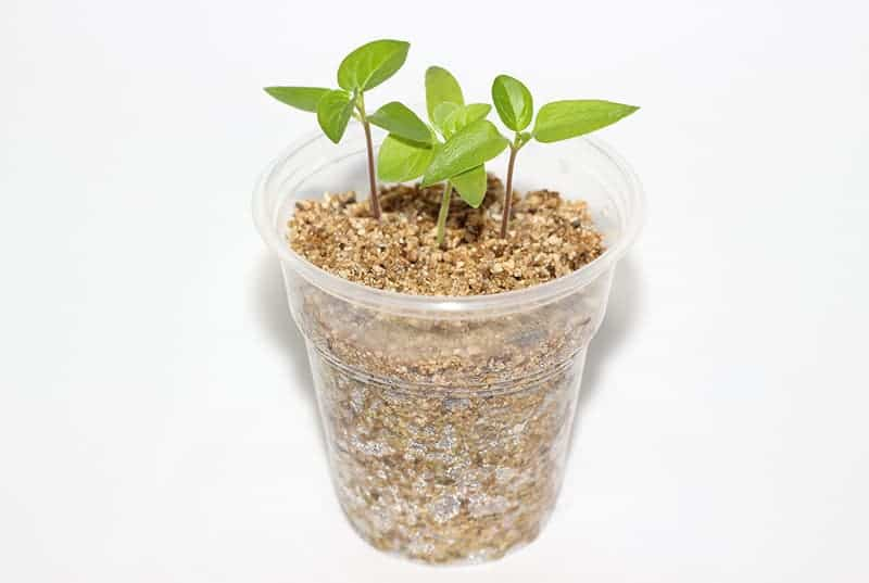 Vermiculite for seed germination
