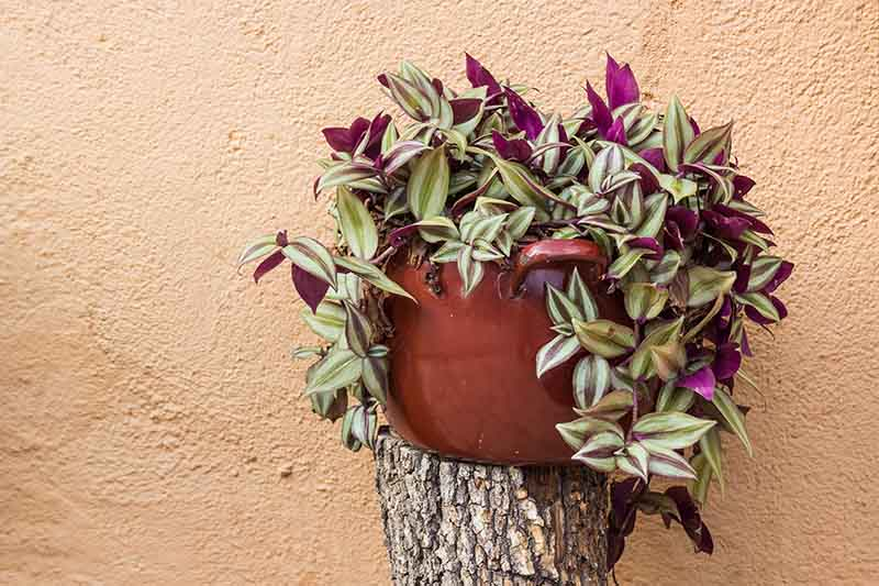 wandering Jew Plant Pot