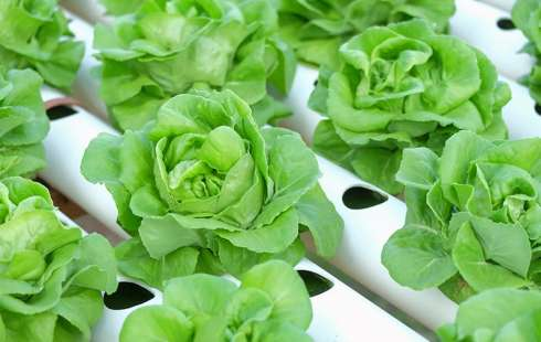 Advantages and Disadvantages of Hydroponics