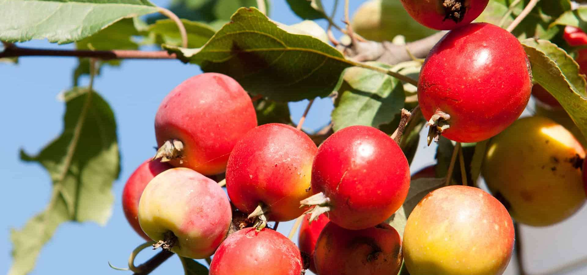 Crabapples - all you need to know