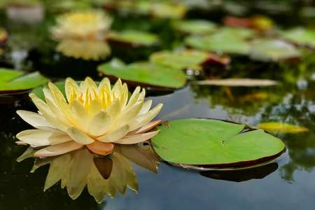 The beautiful water lilies in the water garden
