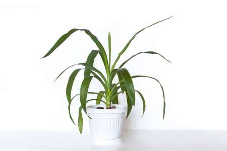 Yucca Plant in White Flower Pot