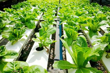 Grow Hydroponic Lettuces