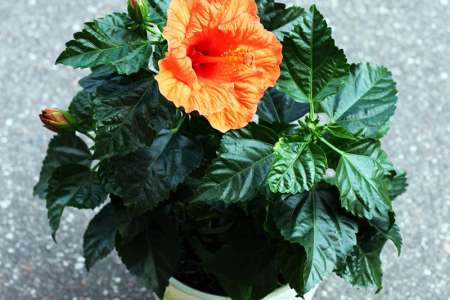 Hibiscus in a pot
