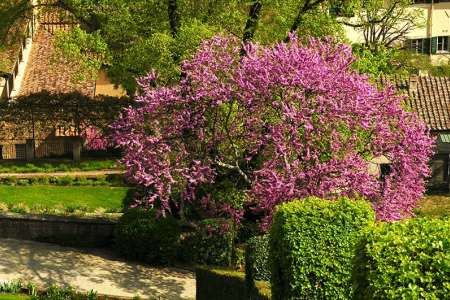 Types of Redbud Trees
