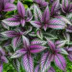 Colorful Persian shield plant