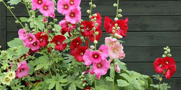 Alcea rosea, common called, hollyhock
