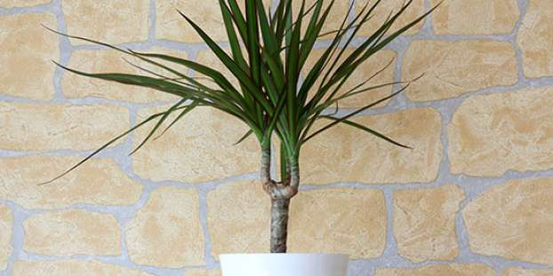 Madagascar Dragon Tree (Dracaena Marginata)
