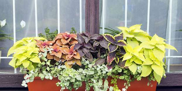 Different Coleus plants grow in flowerpot on windowsill