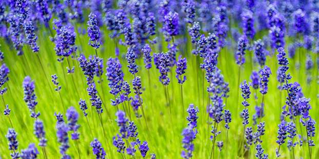 Types of Lavender