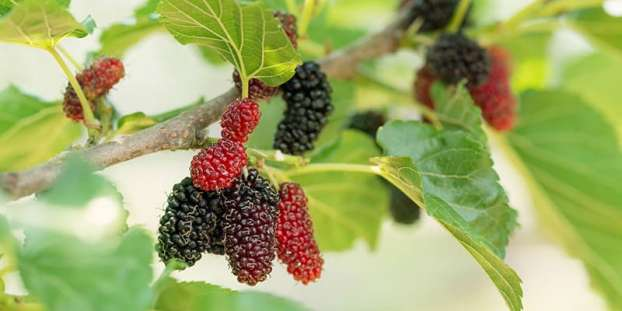 Mulberry trees