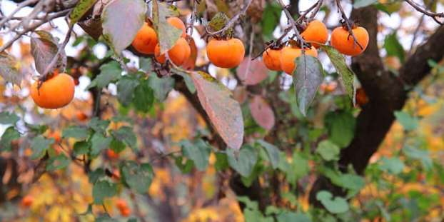 Persimmon in fall