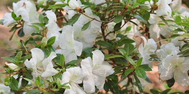 Types of Rhododendrons
