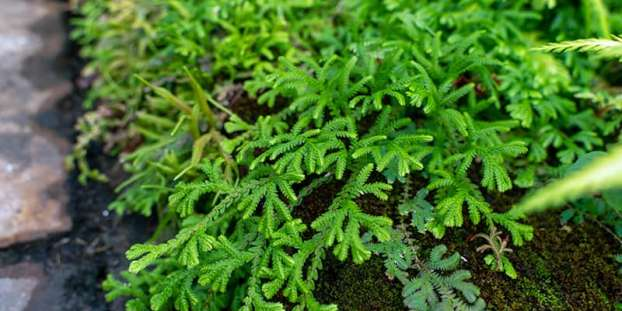 Spike Moss Selaginella