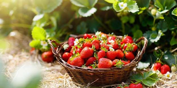 Types of Strawberries
