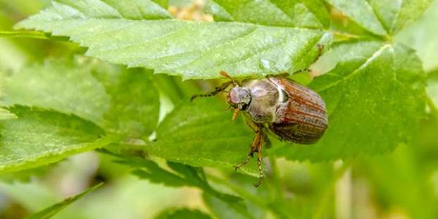 June Bug on a twig