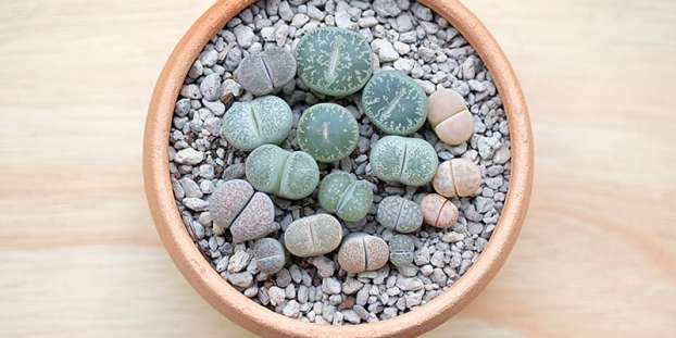 Lithops in a pot